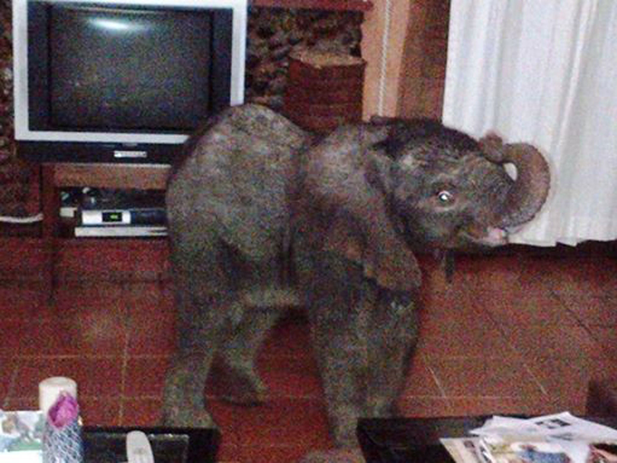 Lost baby elephant tom wanders into living room after - The elephant in the living room full movie ...