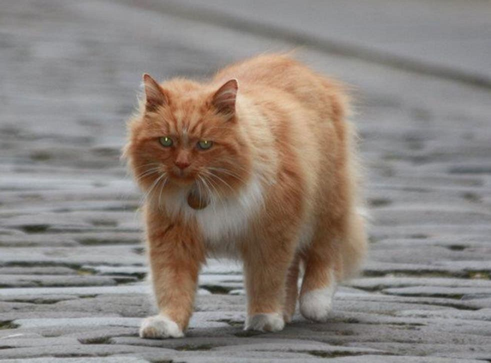 Hamish McHamish, St Andrews' town cat, goes for a stroll