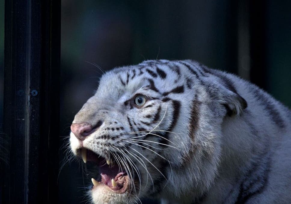 Rare white tiger mauls zookeeper to death in Japan | The