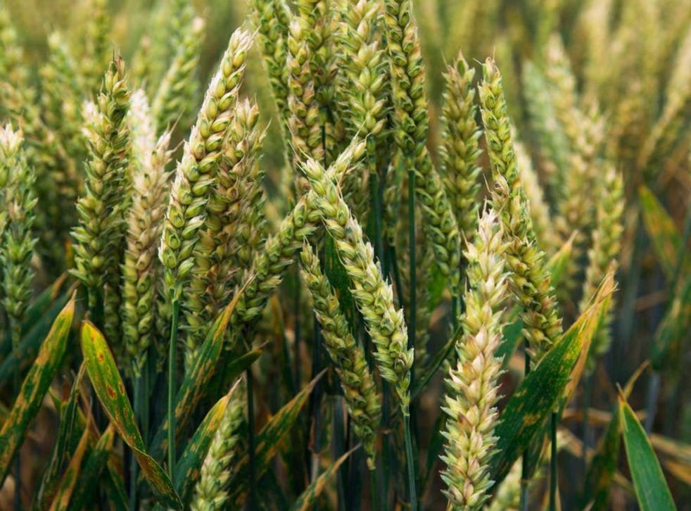 The plant disease threatens the world's crops