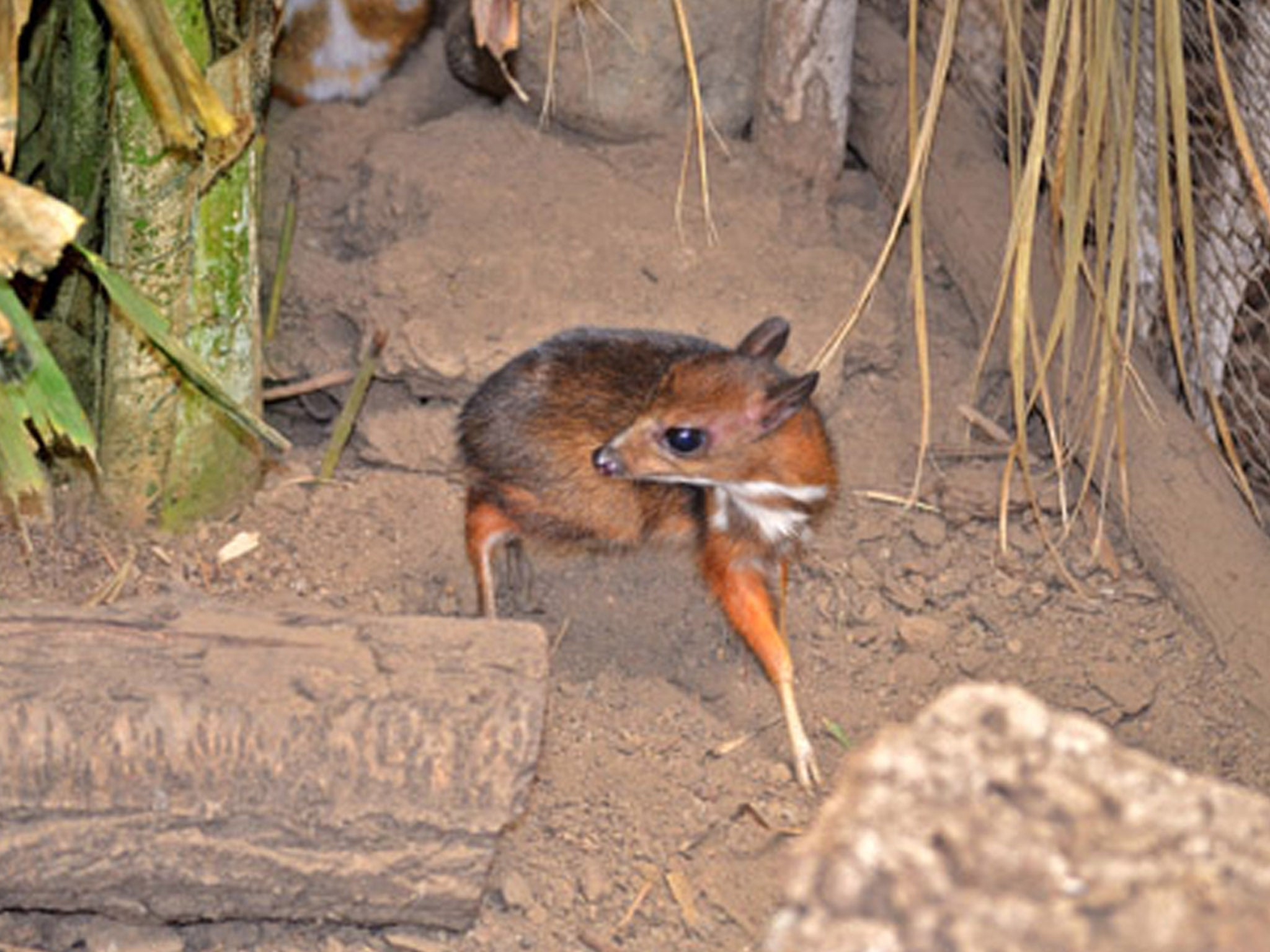 Tiny hamster-sized deer born in southern Spain