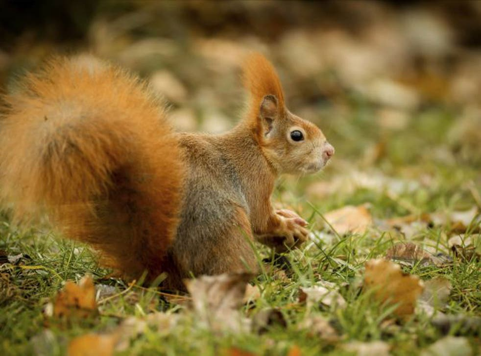 Nutcracker: A rare red squirrel out foraging