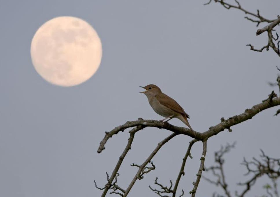 Nature Studies: The decline and fall of the nightingale, poetry's ...