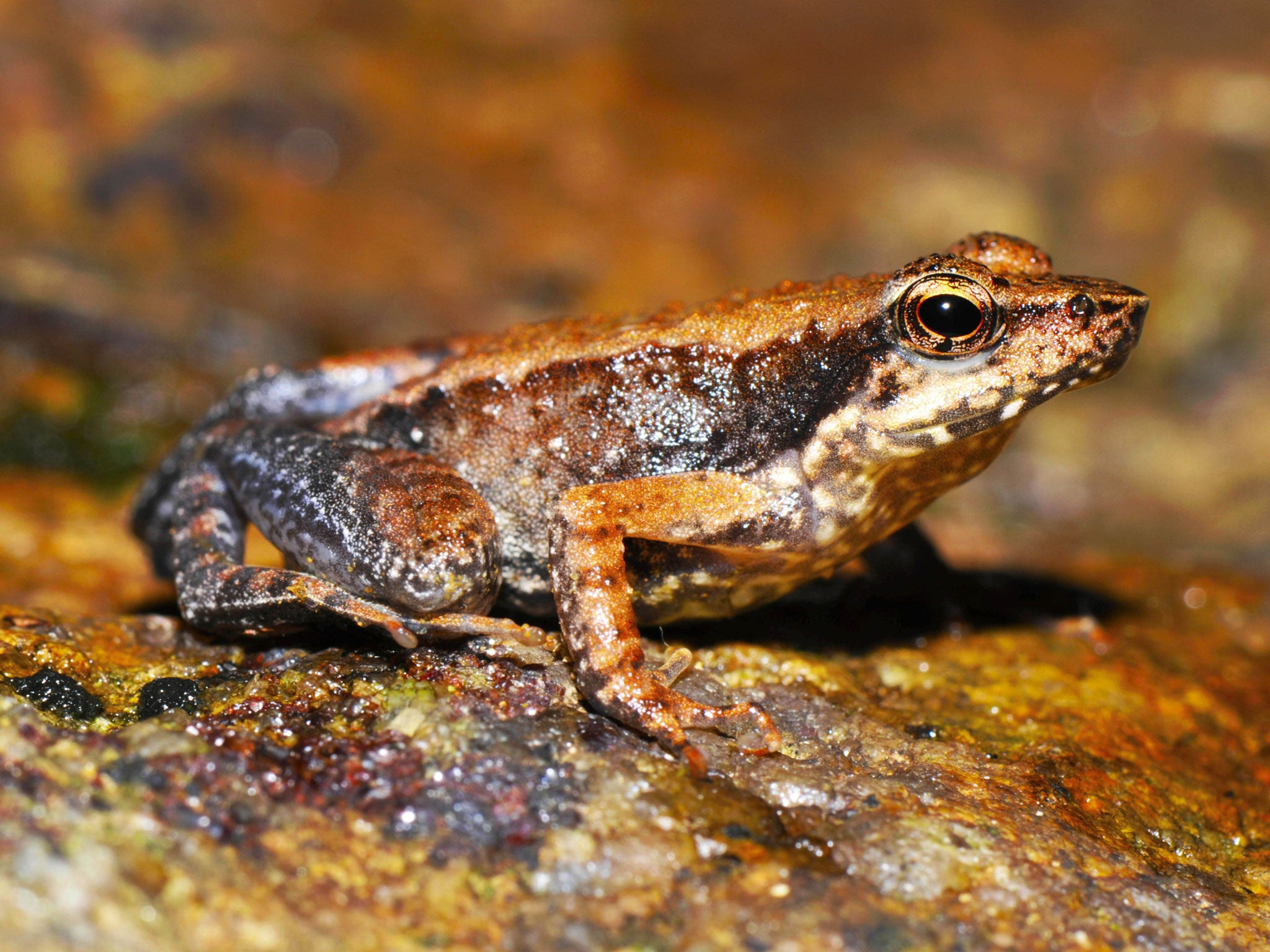salting roads found to reverse of frogs the independent