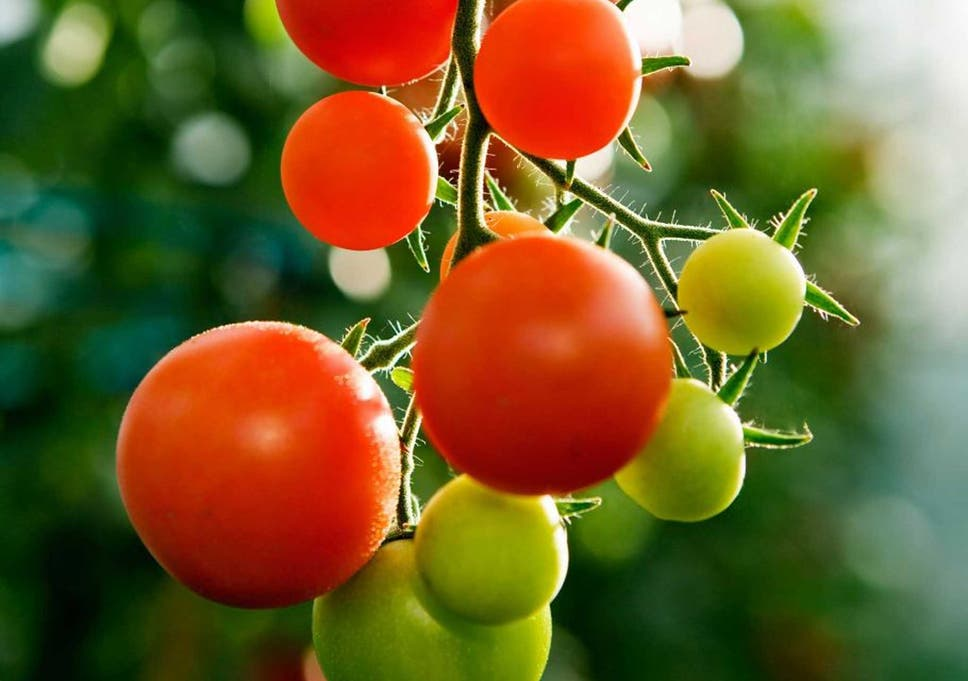 How to treat tomato blight in the soil