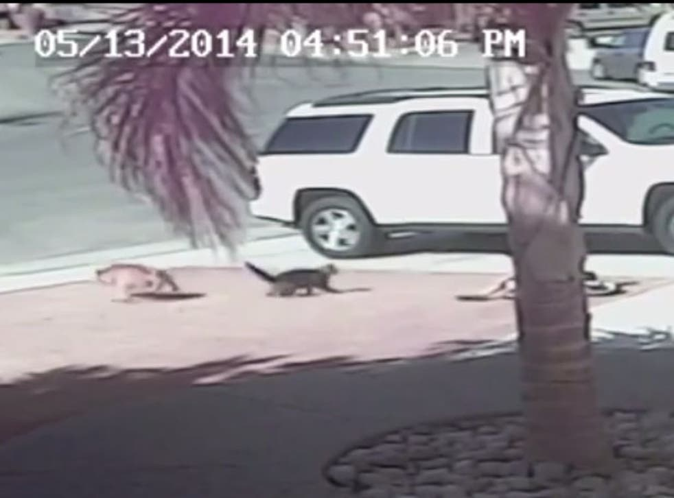 The cat sees of the dog after the attack in California