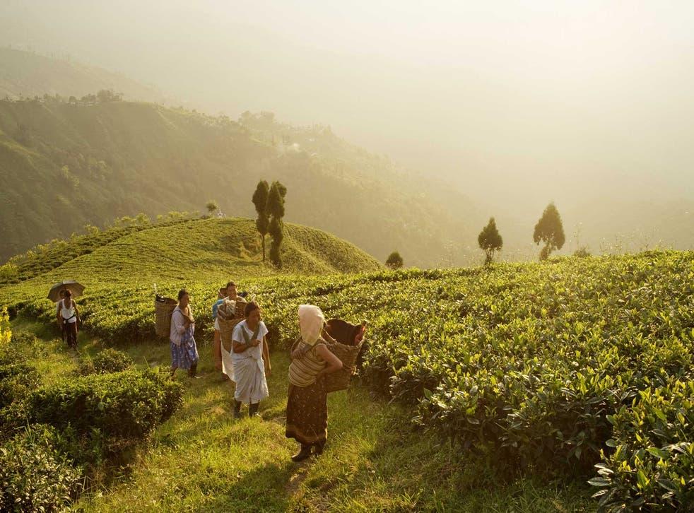 Heart of darkness: tea pickers in West Bengal