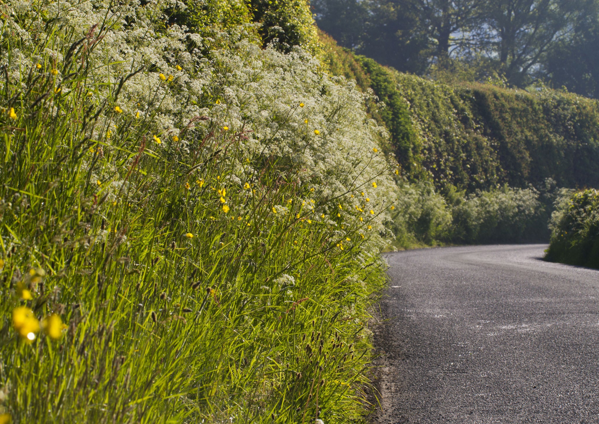 Cow Parsley The Countryside Killer The Independent