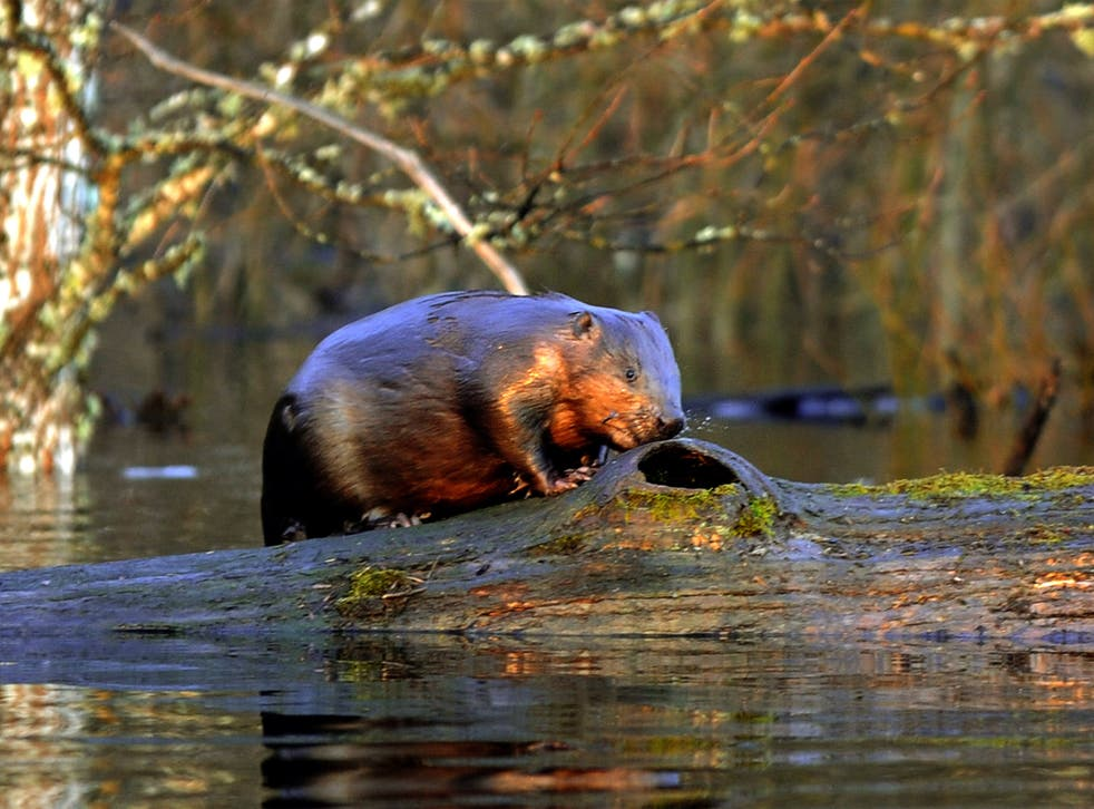 Beavers have been filmed in the River Otter – the first sighting in England for centuries