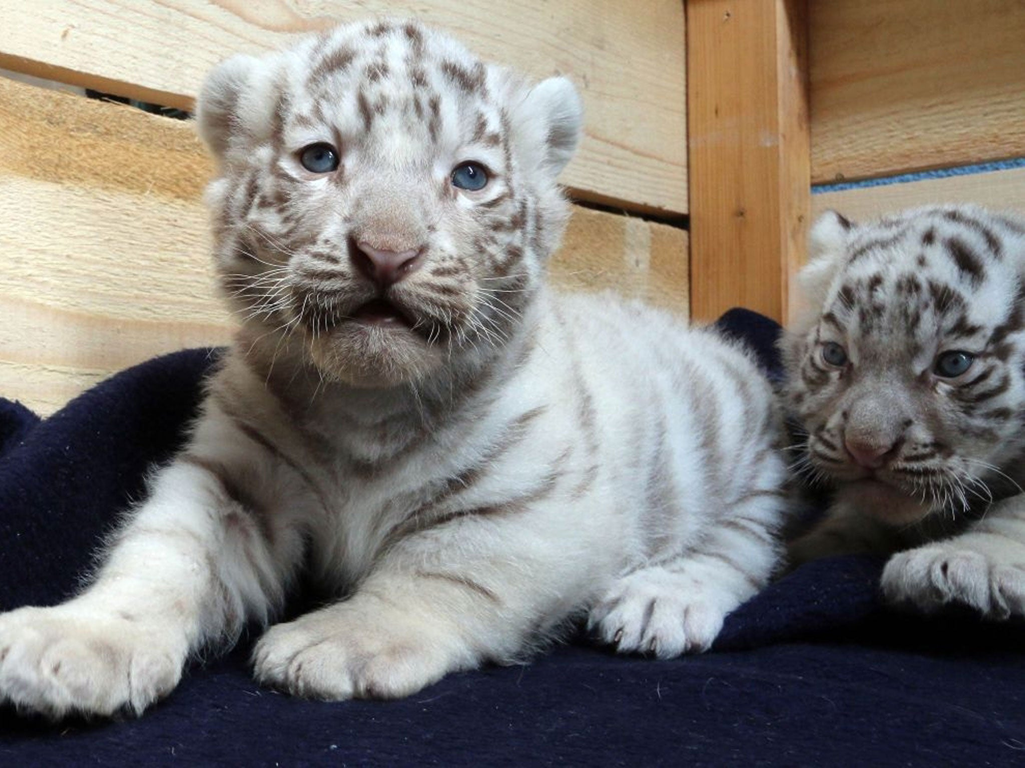 white bengal tiger cubs unveiled at white zoo in austria | the