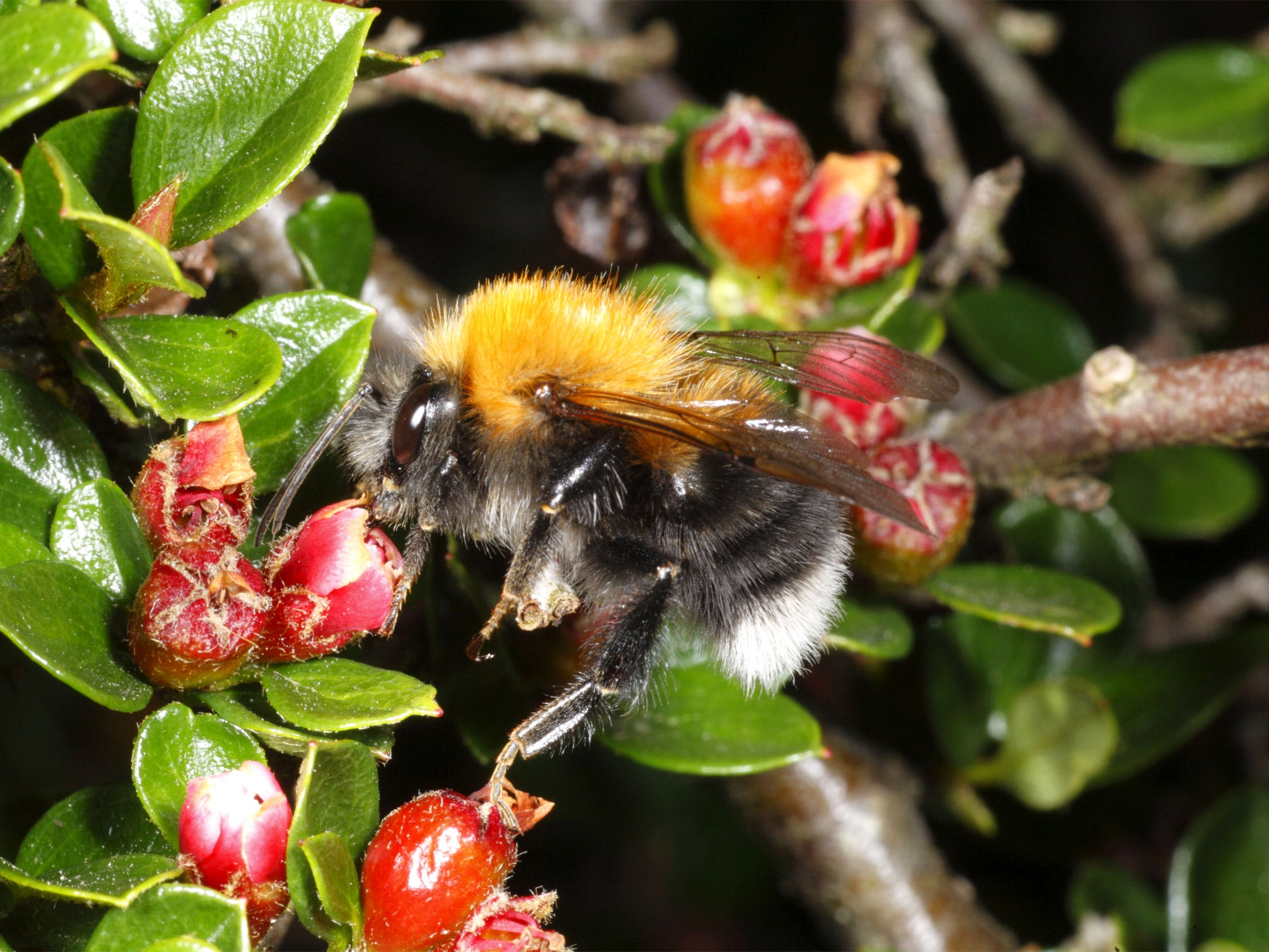 Invasion of tough European bumblebees could wipe out their weaker British cousins, scientists warn | The IndependentShape
