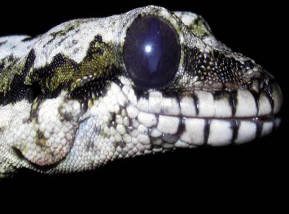 <p>A Skydiving gecko which is among the new species found</p>