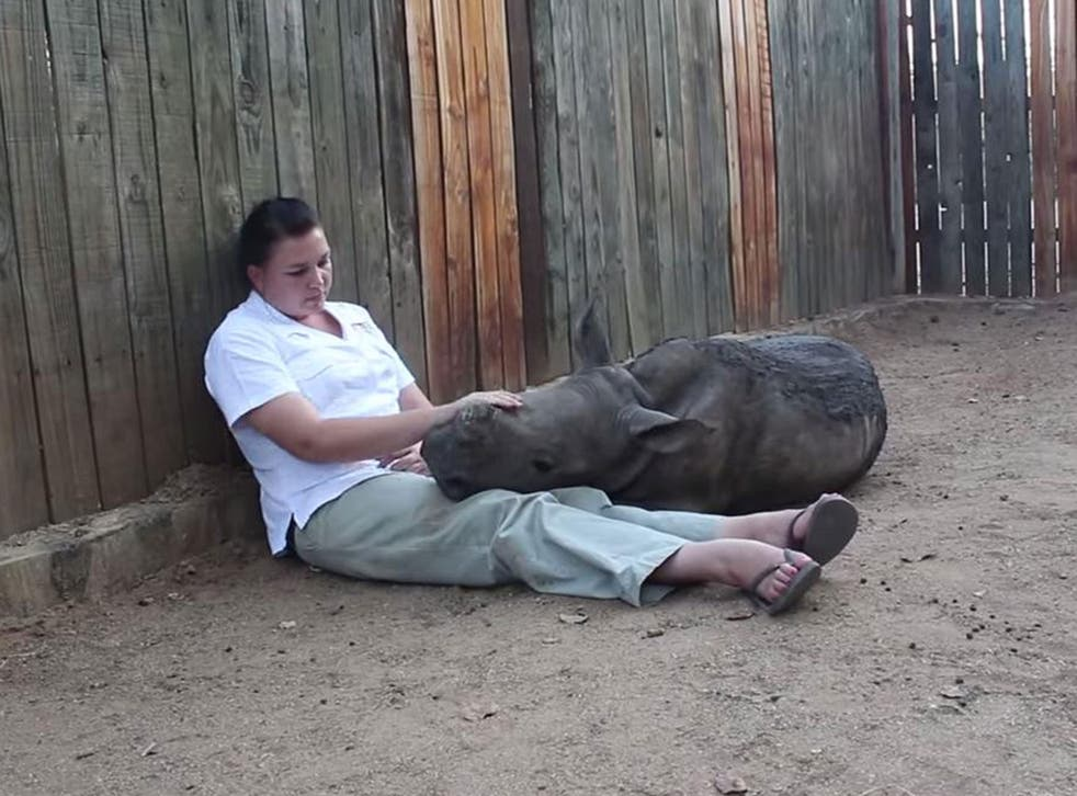 Gertjie the rhino cuddles up with a member of staff at the Hoedspruit Endangered Species Centre