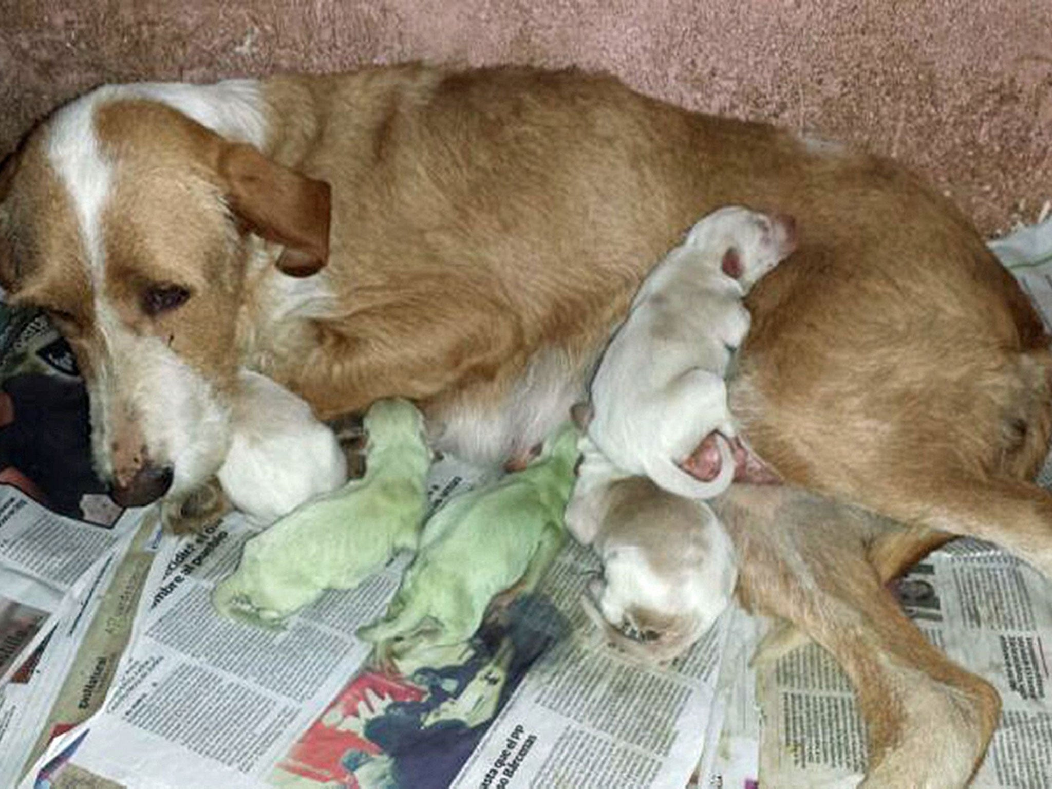Minty Green Spanish Dog Gives Birth To Bright Green Puppies The