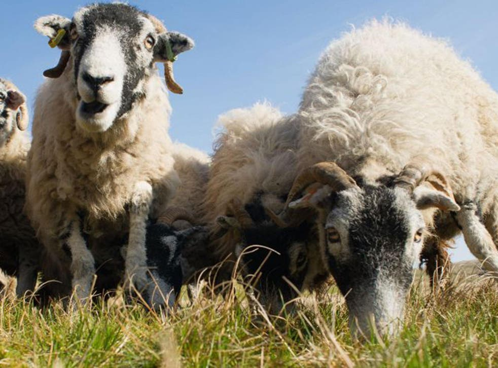 Sheep on the Fanny's Farm munched on £4,000 worth of cannabis plants