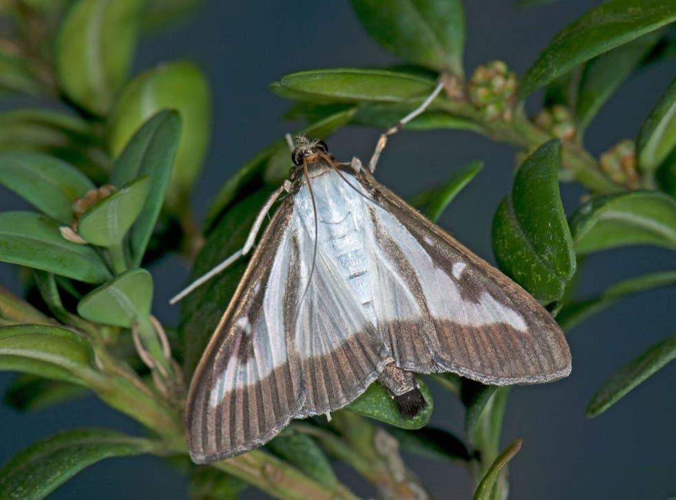A box tree moth. The caterpillar is a voracious eater of box hedges