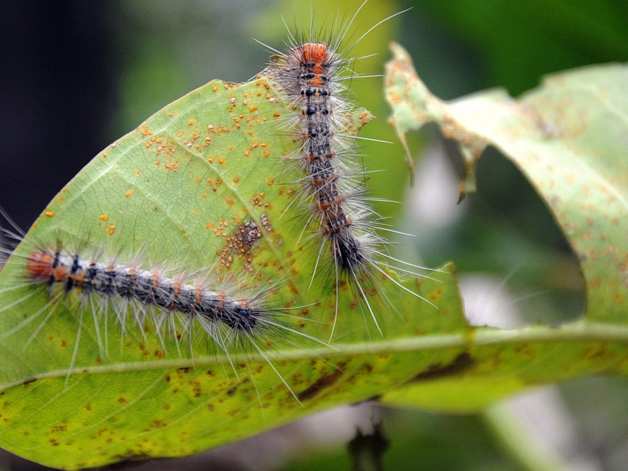 Traded caterpillars that CAN eat a couple grow 34