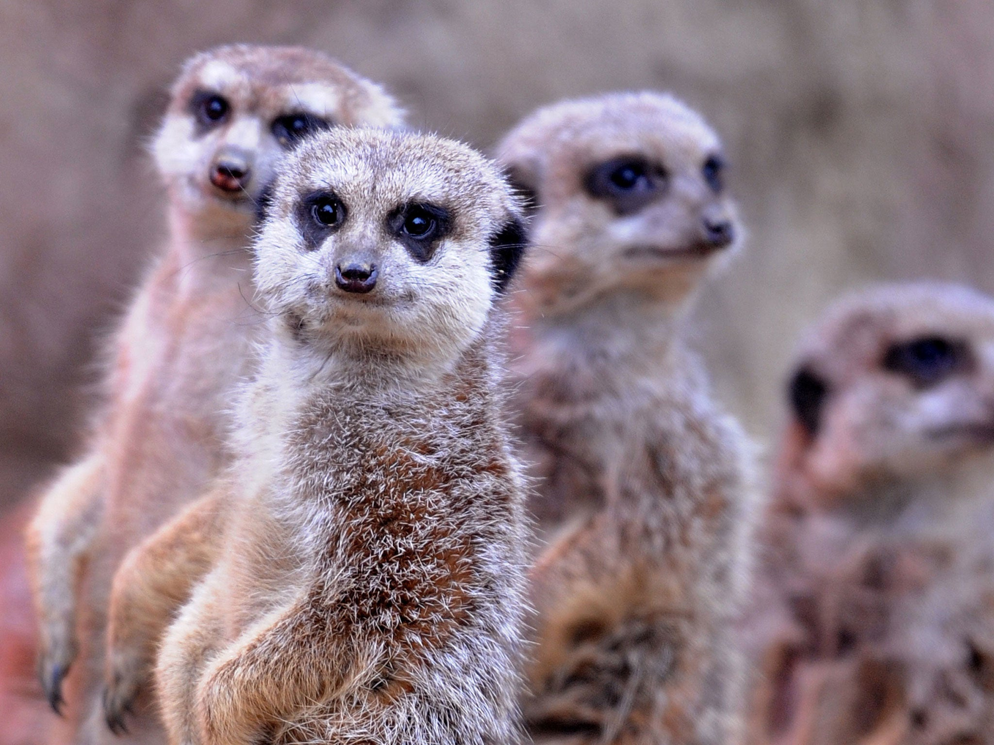 3 letter mammals meerkats revealed as most murderous mammal known to 20067