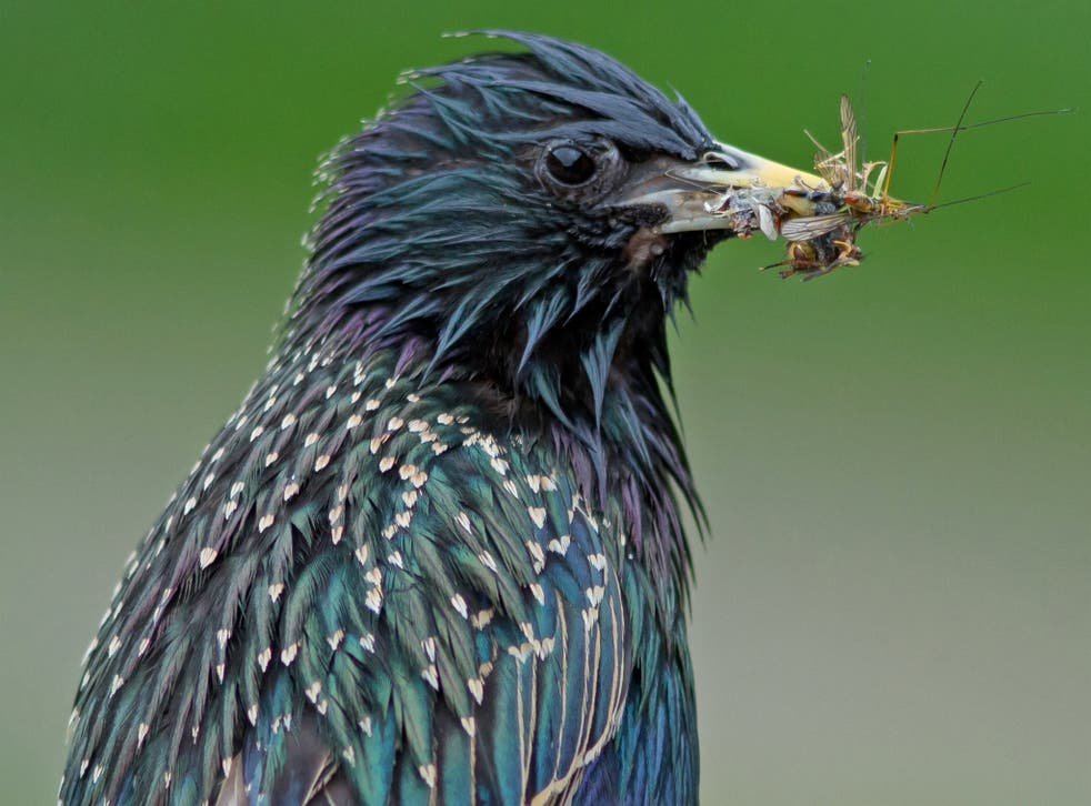 The starling is one of 15 bird species whose decline in population has been linked to pesticide use in the Netherlands