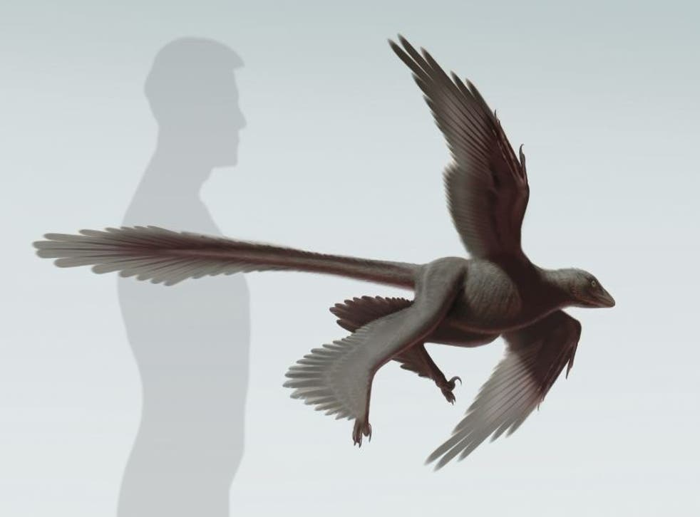 An artist's rendering shows the newly discovered feathered dinosaur, Changyuraptor yangi