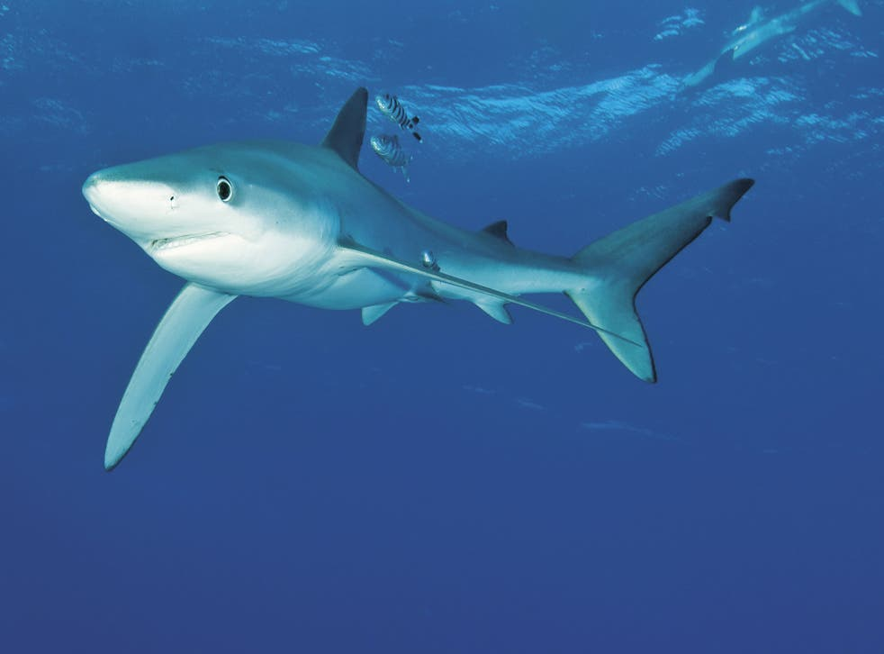 A blue shark seen off the coast of Azores, Portugal