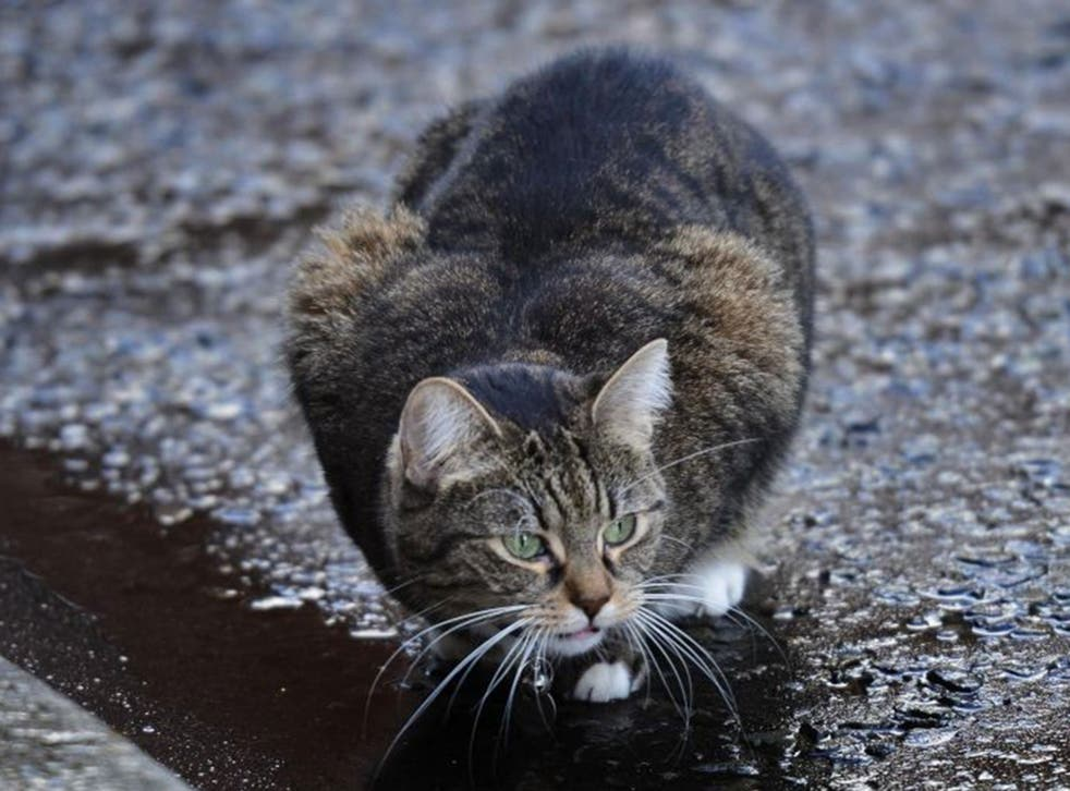 The Osborne's wandering cat Freya has caused all sorts of consternation in Downing Street