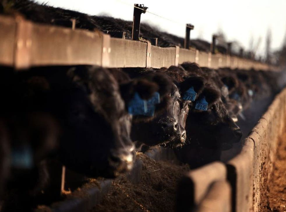 The premium on Black Angus bulls may be reduced if GM ban is lifted