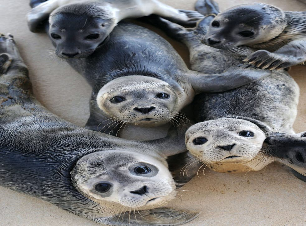 Wind farms seem to be a magnet for hungry seals eager to take advantage of the fact that fish and crustaceans tend to cluster on the base of the structures