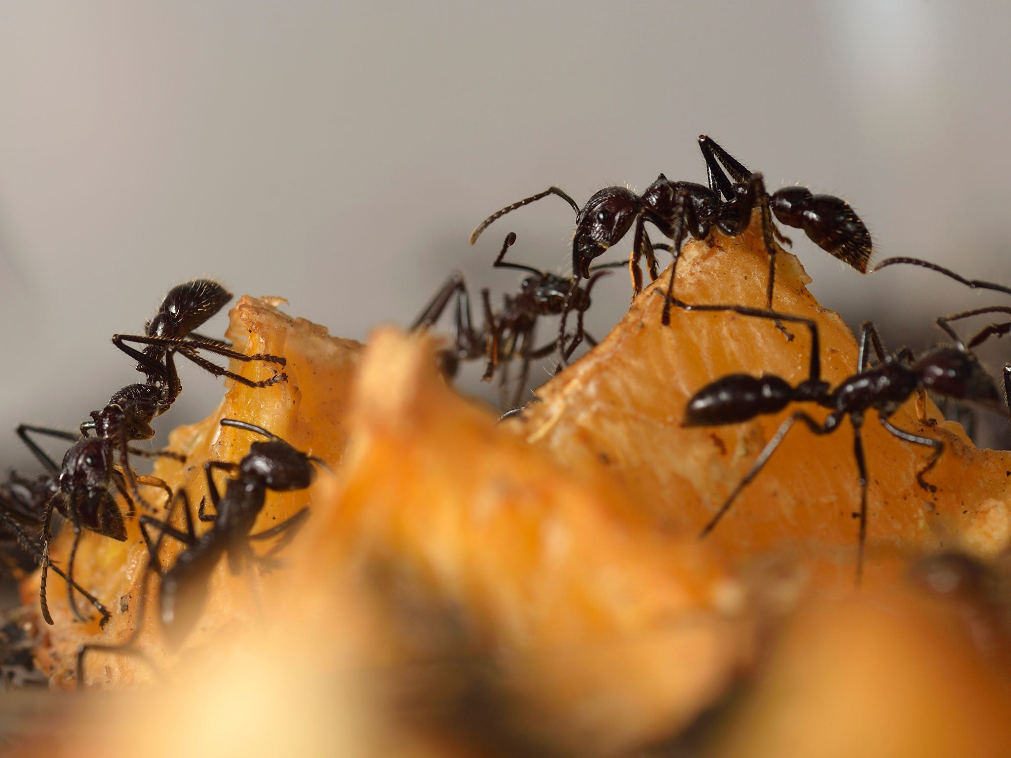 Super ants attracted to electricity have made it to London