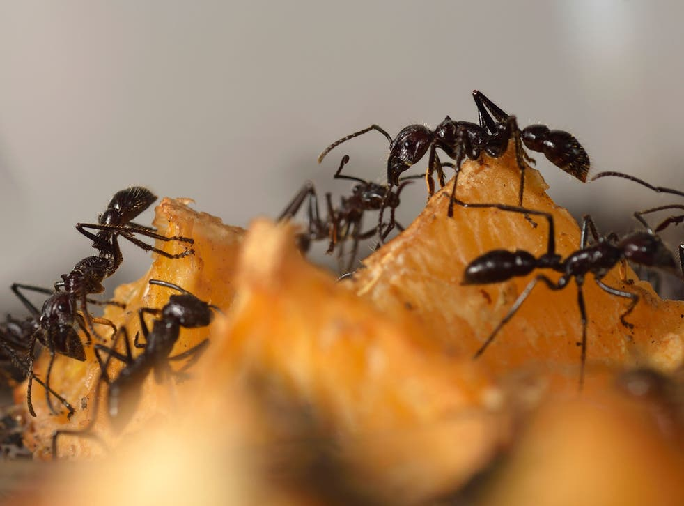Giant ants pictured in Paris