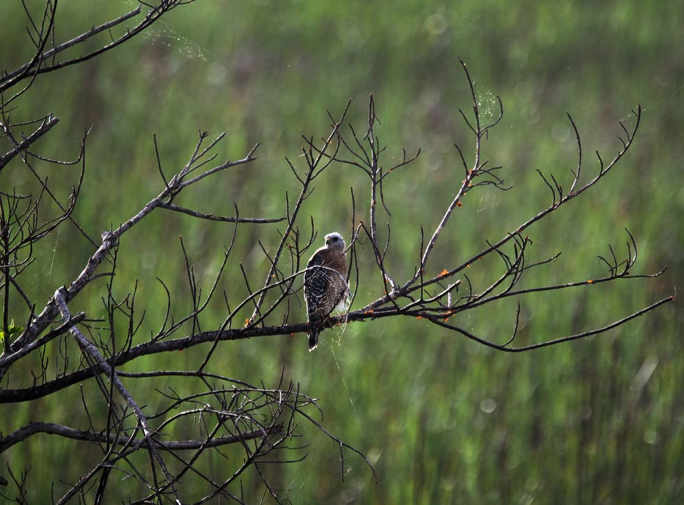 A hawk is seen resting in a tree in the Florida Everglades on August 11, 2011 in the Everglades National Park, Florida. The Obama administration announced it will pump $100 million into Everglades restoration. The money will go to buy land from ranchers