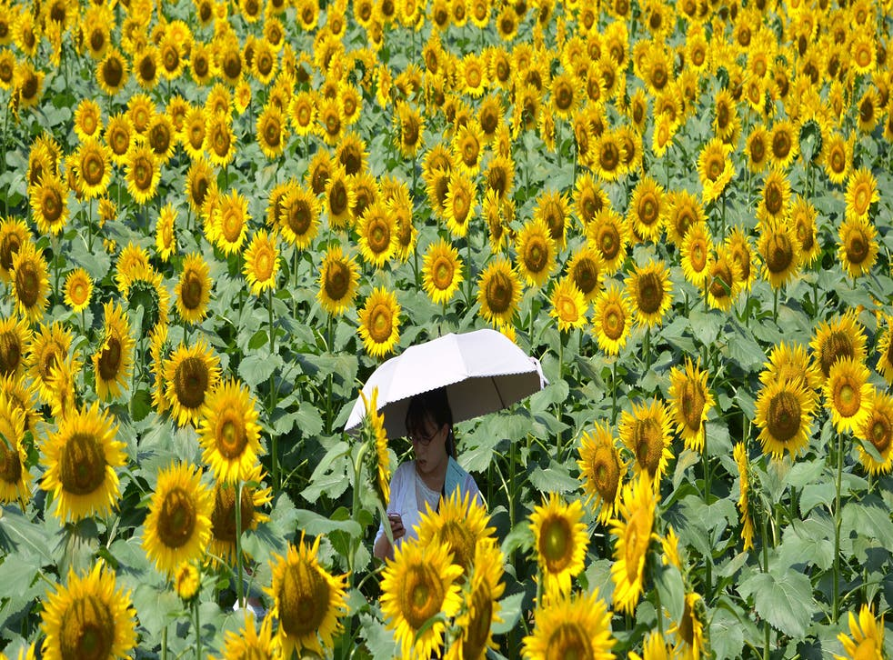A woman walks through a maze of sunflowers growing in a field during a three-day sunflower festival in the town of Nogi, Tochigi prefecture, some 70 kms north of Tokyo on July 27, 2014. A total of some 200,000 sunflowers welcomed guests for the summer festival, an annual draw for the small town.