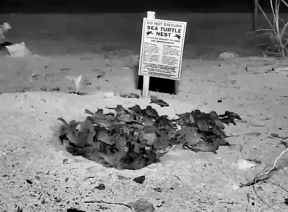 Watch the hatching of 100 baby sea turtles in Florida Keys