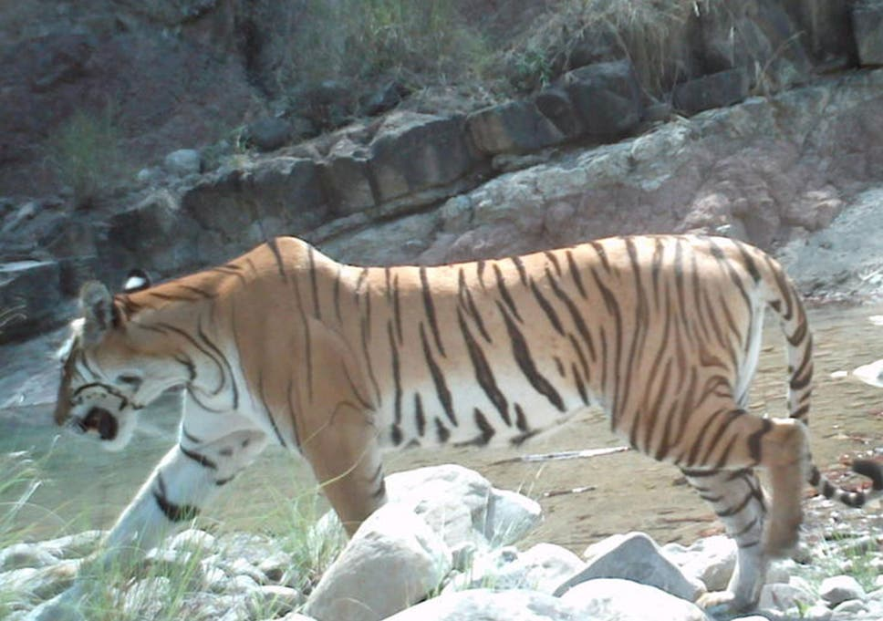 Save the tiger: The success of the Bengal tiger in Nepal shows you