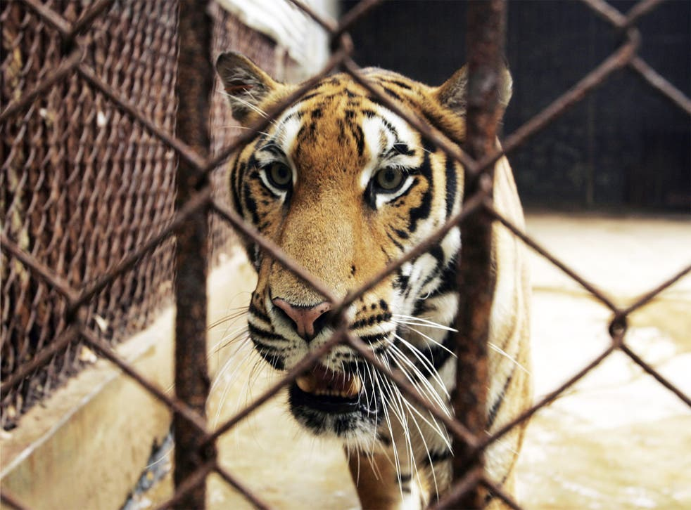 The Xiongsen Bear and Tiger Mountain village is the largest tiger captivity centre, or 'tiger farm', in China