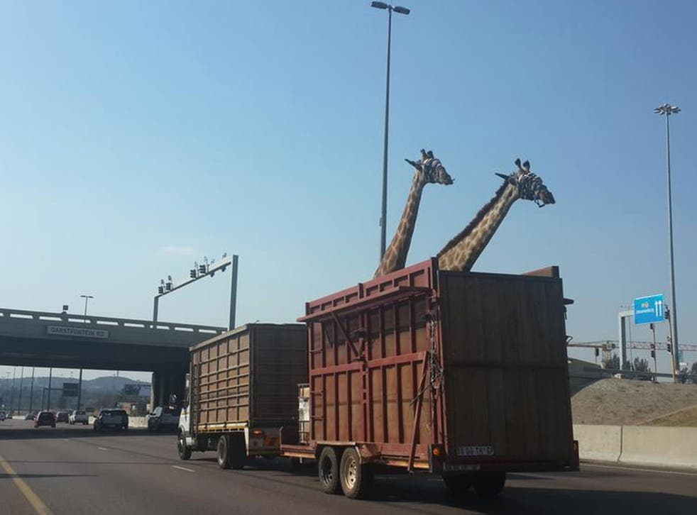 Two giraffes pictured on Garsfontein Road, Centurion, South Africa.
