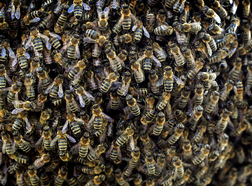 Bees are pictured in a beekeeper school in Kleinkemnat, southern Germany