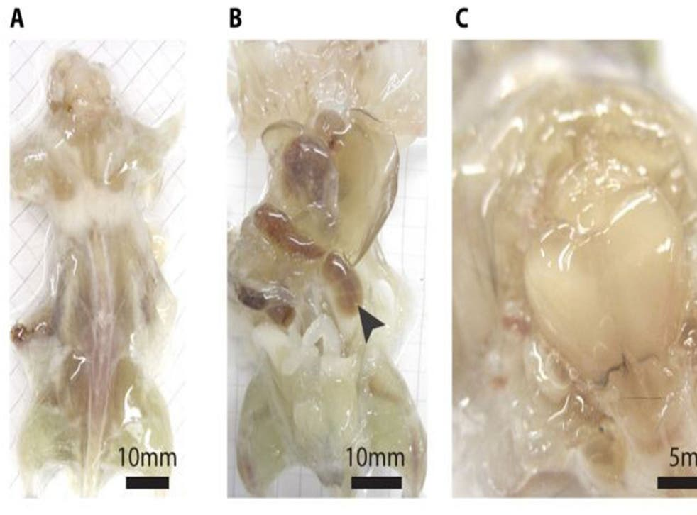 This undated photo combo provided by the journal Cell and taken with a bright field camera, shows a mouse with its skin removed during various stages of examination. In a study released by the journal Cell on Thursday, July 31, 2014, researchers describe