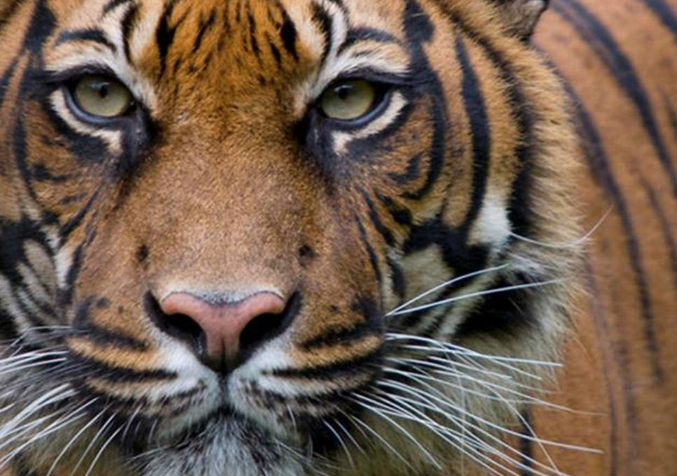 Five things you can do today to help save the tiger | The Independent