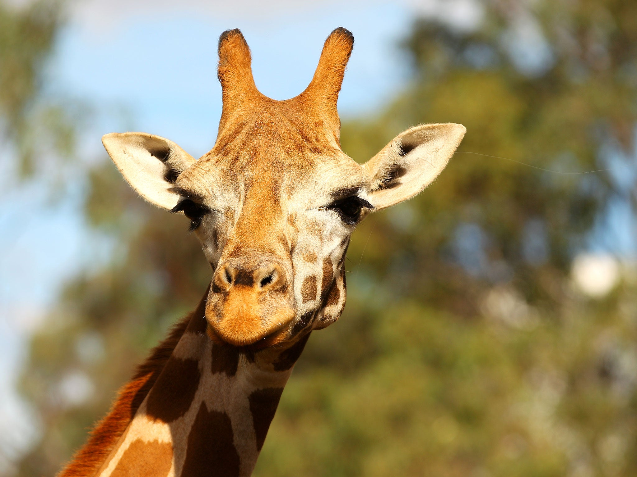 giraffes are divided into four distinct species not just one