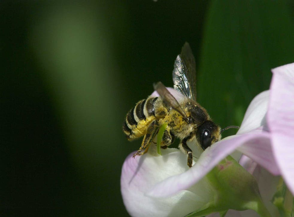 A honeybee feeding on a sweet pea flower