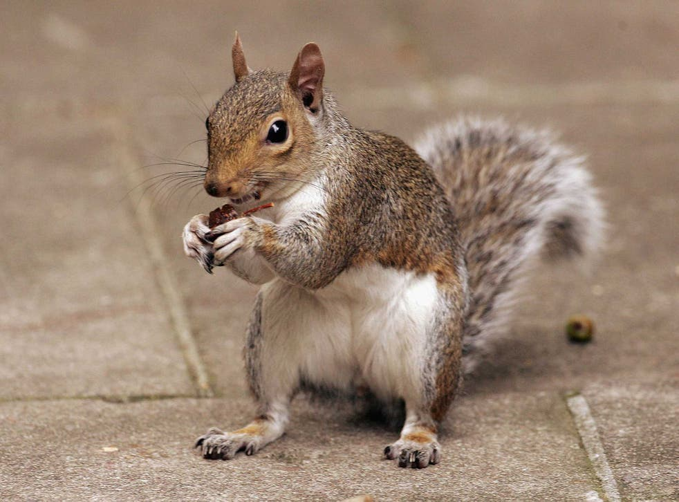 """""""Squirrel"""" is apparently very difficult to pronounce - particularly for German-speakers"""
