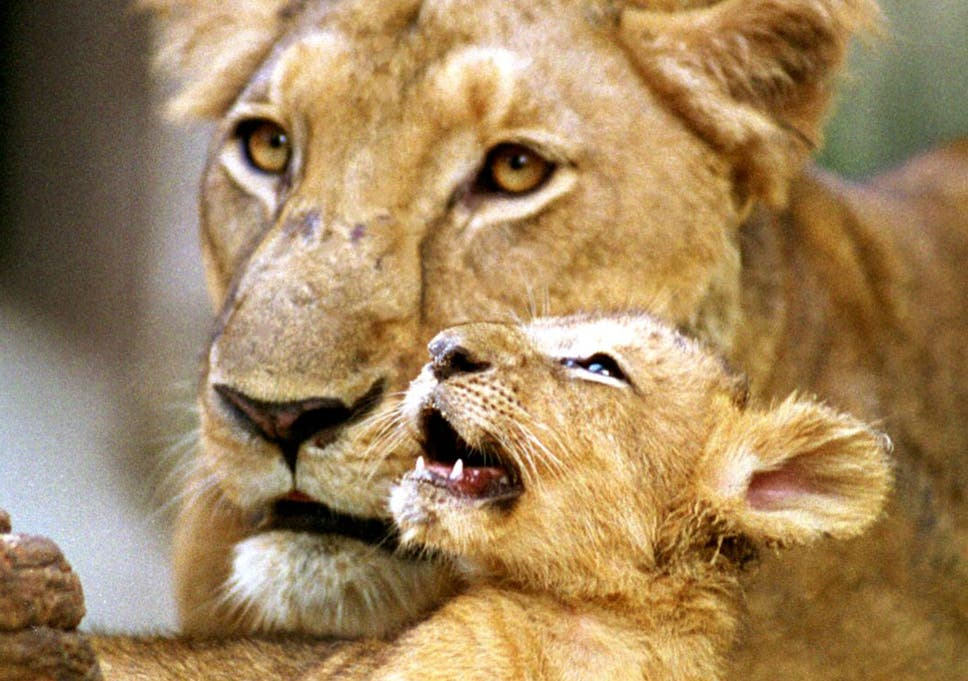 Lion cub leads forest rangers to mother's dead body at sanctuary in