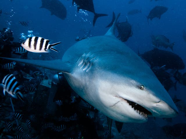 Bull sharks (pictured) are one of the most-feared of all shark species, mainly because they prey in the shallows, around estuaries and even miles upstream in rivers, which means they are more likely to come into contact with humans. However, off Santa Luc