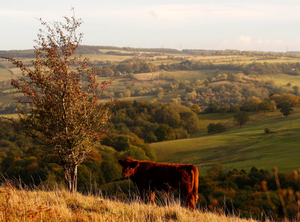 A cow grazes in the early morning sunlight on the upper slopes of Leckhampton Hill in the Cotswolds on October 25, 2011 in Cheltenham, England.