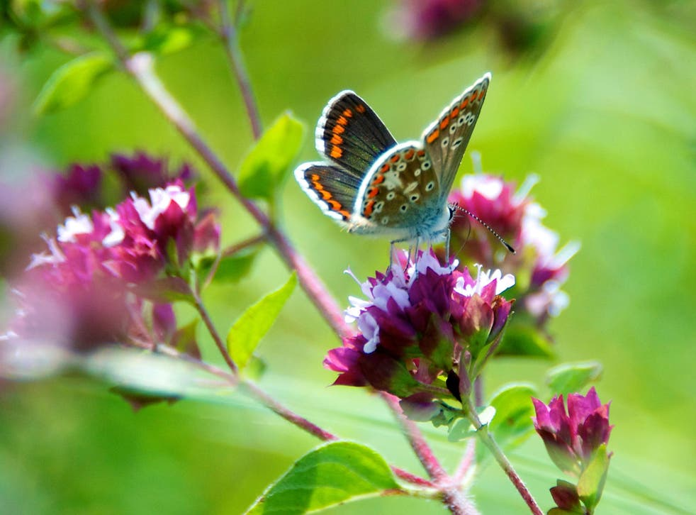 The brown argus butterfly lost the ability to eat one of two plants in its diet after a climate-related move