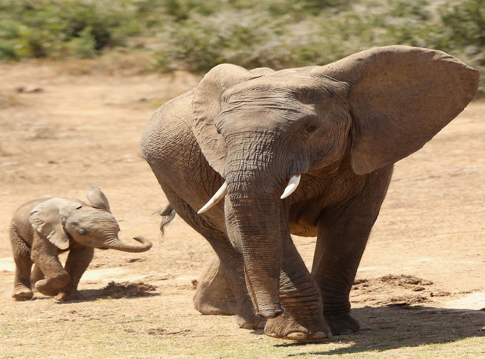 Elephants and rhinos could be extinct within two decades, conservation campaigners are warning