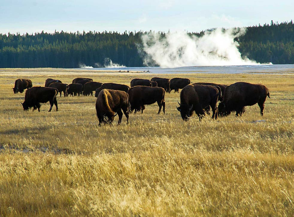A small portion of the Yellowstone buffalo herd graze in Yellowstone National Park