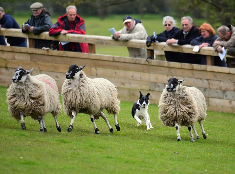 Could a robot sheepdog find itself working at Skipton Auction Mart?