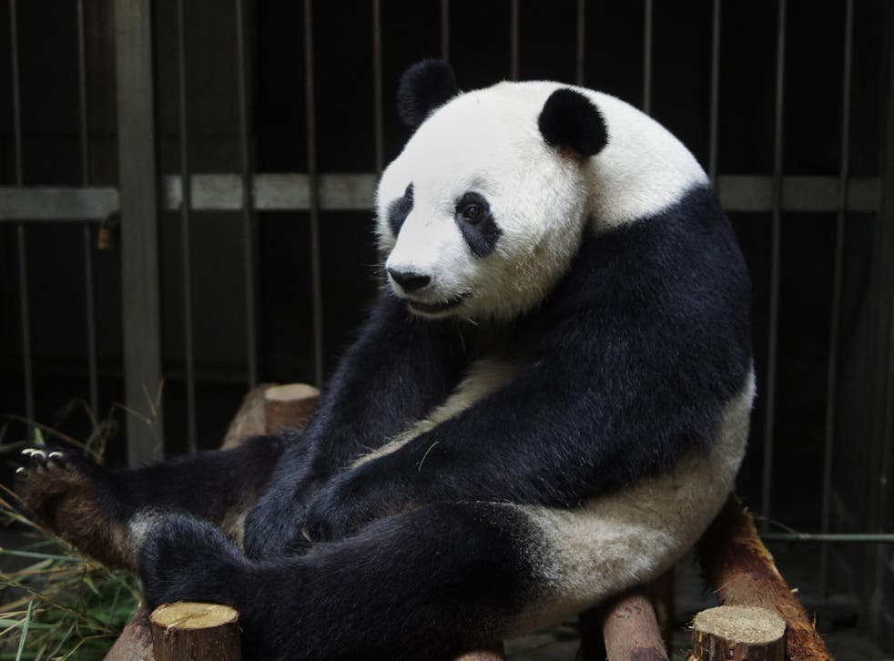 This picture taken on July 17, 2014 shows giant panda Ai Hin sitting in its enclosure at the Chengdu Giant Panda Breeding Research Centre